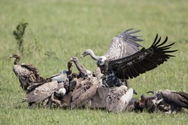 Vulture fighting