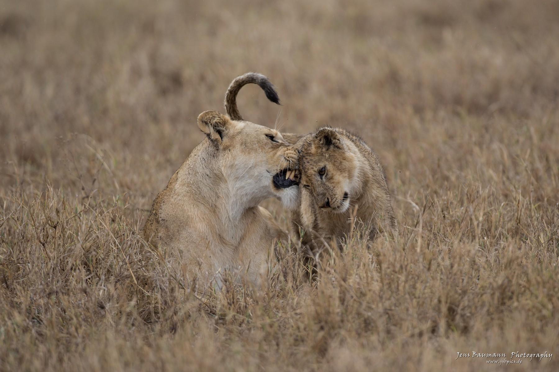Lion mum and kid
