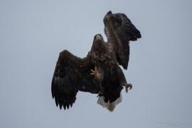 Sea eagle attacking