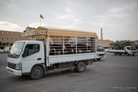 Nizwa - cattle for sale